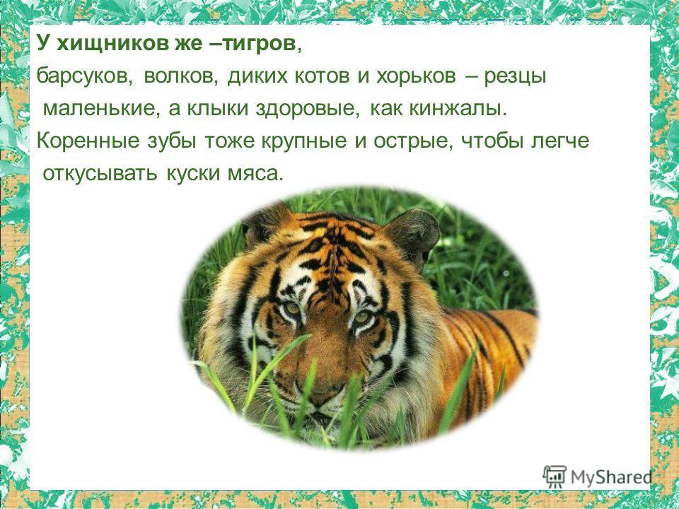 У хищников же –тигров, барсуков, волков, диких котов и хорьков – резцы маленькие, а клыки здоровые, как кинжалы. Коренные зубы тоже крупные и острые, чтобы легче откусывать куски мяса.