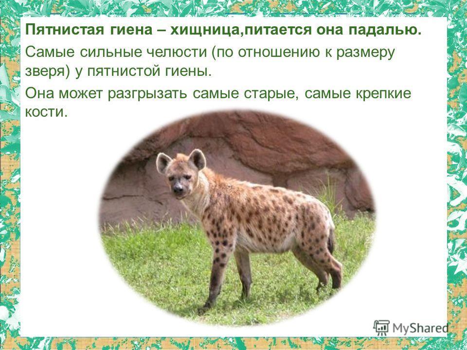 Пятнистая гиена – хищница,питается она падалью. Самые сильные челюсти (по отношению к размеру зверя) у пятнистой гиены. Она может разгрызать самые старые, самые крепкие кости.