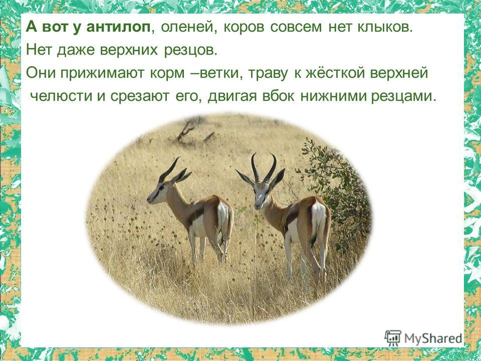 А вот у антилоп, оленей, коров совсем нет клыков. Нет даже верхних резцов. Они прижимают корм –ветки, траву к жёсткой верхней челюсти и срезают его, двигая вбок нижними резцами.