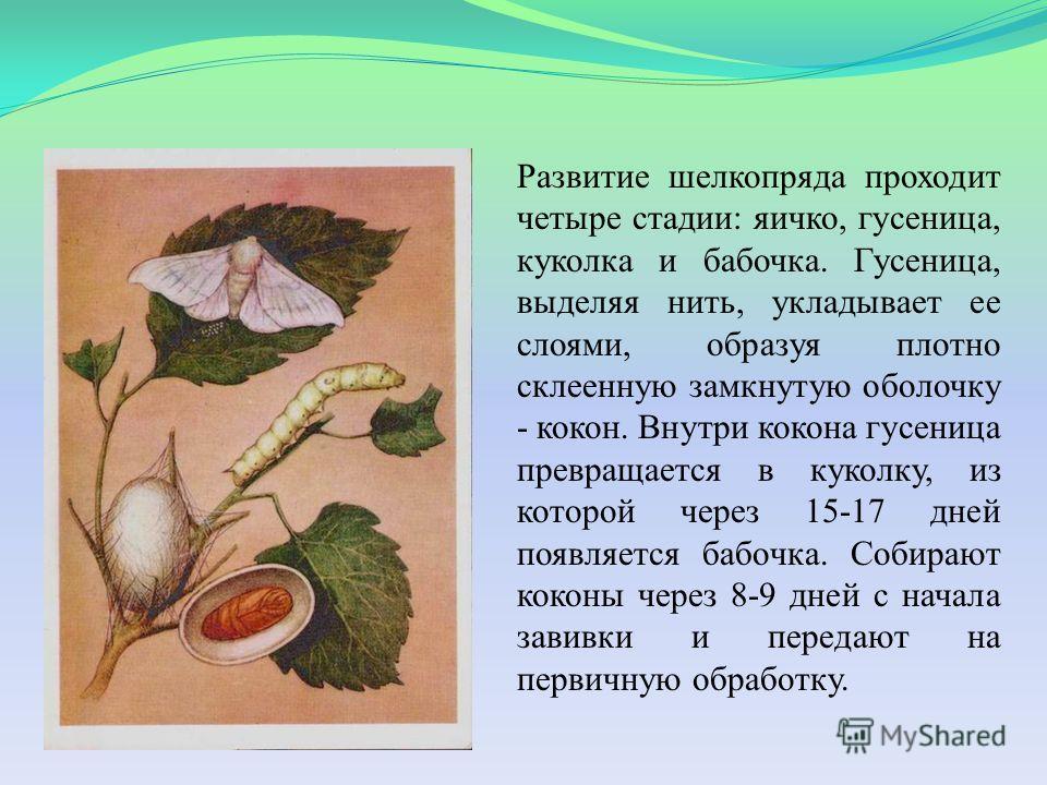 Развитие шелкопряда проходит четыре стадии: яичко, гусеница, куколка и бабочка. Гусеница, выделяя нить, укладывает ее слоями, образуя плотно склеенную замкнутую оболочку - кокон. Внутри кокона гусеница превращается в куколку, из которой через 15-17 д