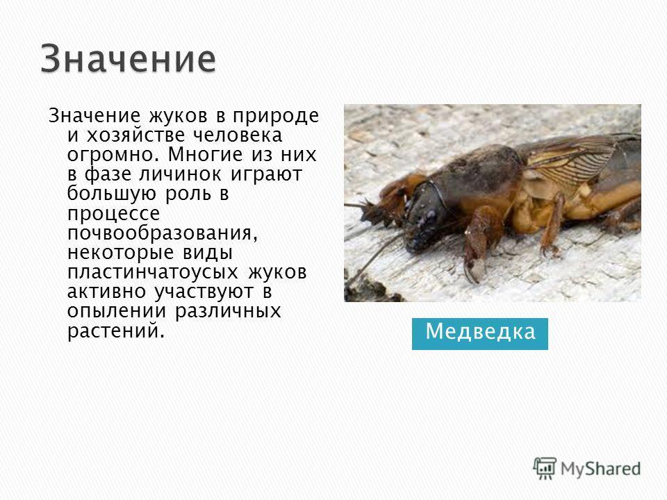 Медведка Значение жуков в природе и хозяйстве человека огромно. Многие из них в фазе личинок играют большую роль в процессе почвообразования, некоторые виды пластинчатоусых жуков активно участвуют в опылении различных растений.