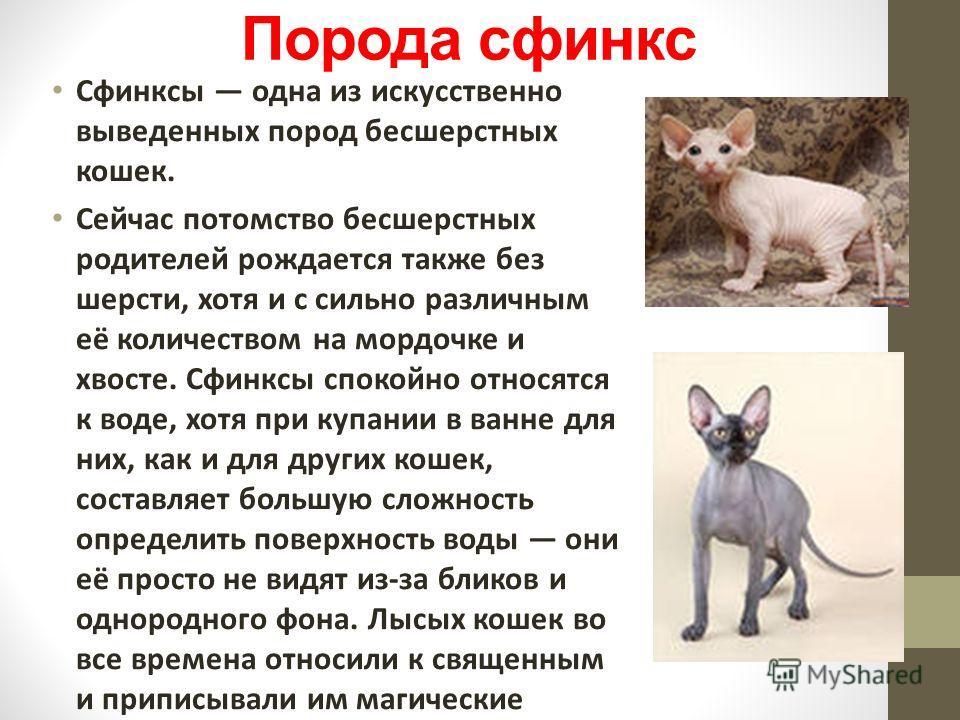 Порода сфинкс Сфинксы одна из искусственно выведенных пород бесшерстных кошек. Сейчас потомство бесшерстных родителей рождается также без шерсти, хотя и с сильно различным её количеством на мордочке и хвосте. Сфинксы спокойно относятся к воде, хотя п