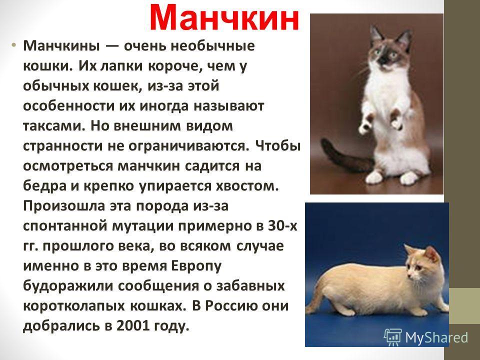 Манчкин Манчкины очень необычные кошки. Их лапки короче, чем у обычных кошек, из-за этой особенности их иногда называют таксами. Но внешним видом странности не ограничиваются. Чтобы осмотреться манчкин садится на бедра и крепко упирается хвостом. Про