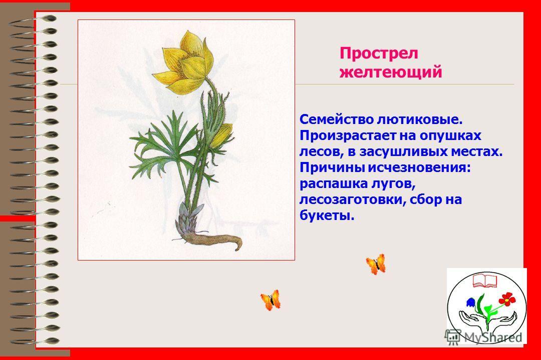 Прострел желтеющий Семейство лютиковые. Произрастает на опушках лесов, в засушливых местах. Причины исчезновения: распашка лугов, лесозаготовки, сбор на букеты.
