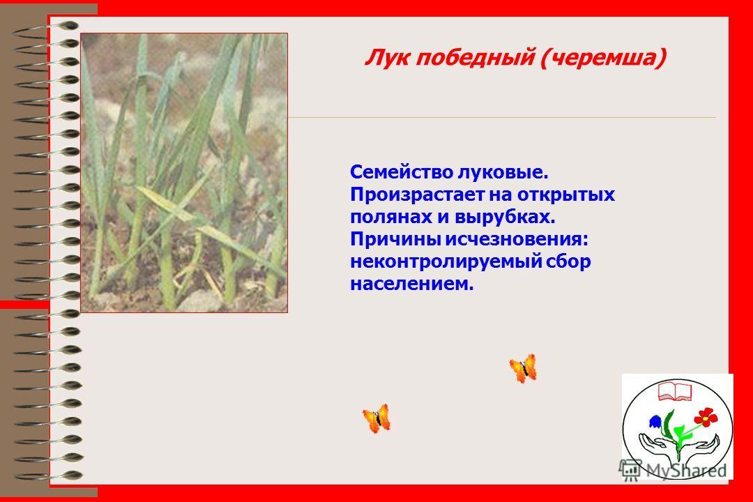 Лук победный (черемша) Семейство луковые. Произрастает на открытых полянах и вырубках. Причины исчезновения: неконтролируемый сбор населением.