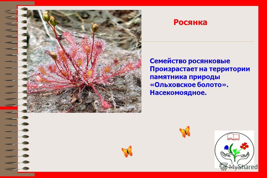 Росянка Семейство росянковые Произрастает на территории памятника природы «Ольховское болото». Насекомоядное.