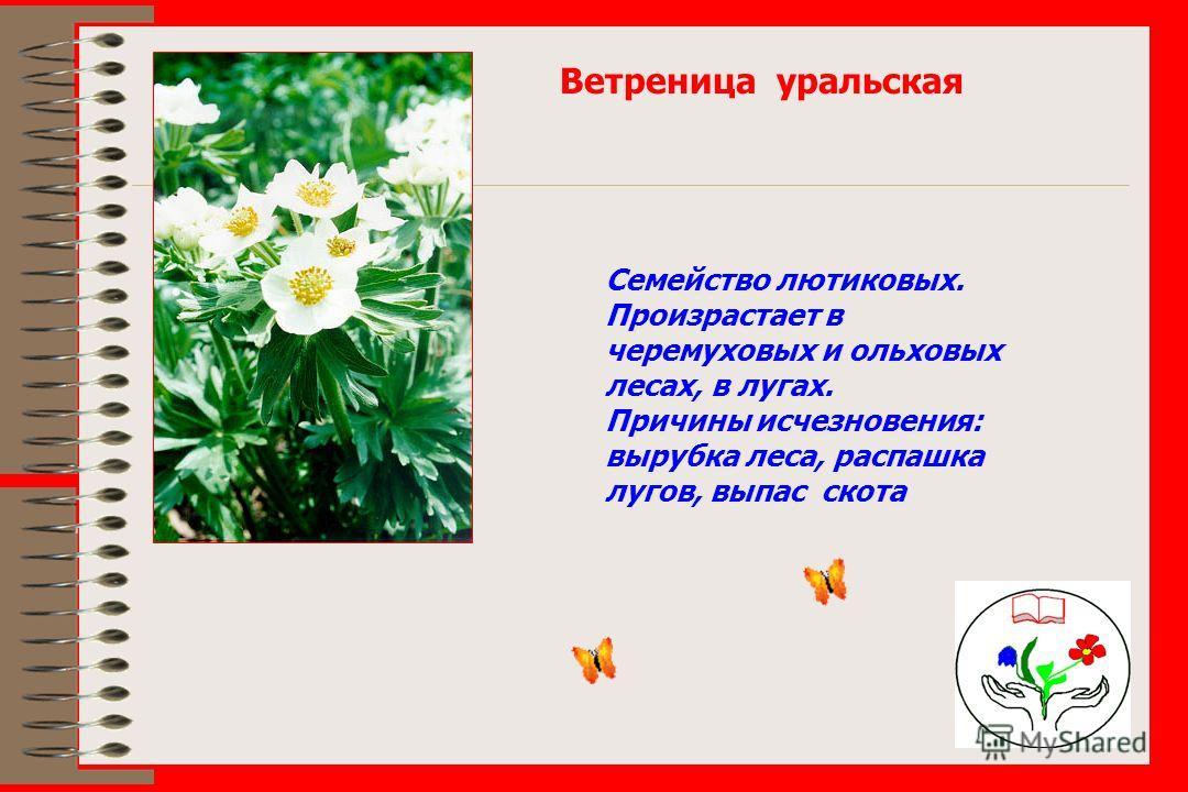 Ветреница уральская Семейство лютиковых. Произрастает в черемуховых и ольховых лесах, в лугах. Причины исчезновения: вырубка леса, распашка лугов, выпас скота