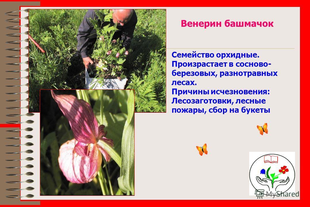 Венерин башмачок Семейство орхидные. Произрастает в сосново- березовых, разнотравных лесах. Причины исчезновения: Лесозаготовки, лесные пожары, сбор на букеты