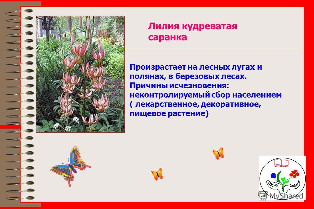 Лилия кудреватая саранка Произрастает на лесных лугах и полянах, в березовых лесах. Причины исчезновения: неконтролируемый сбор населением ( лекарственное, декоративное, пищевое растение)