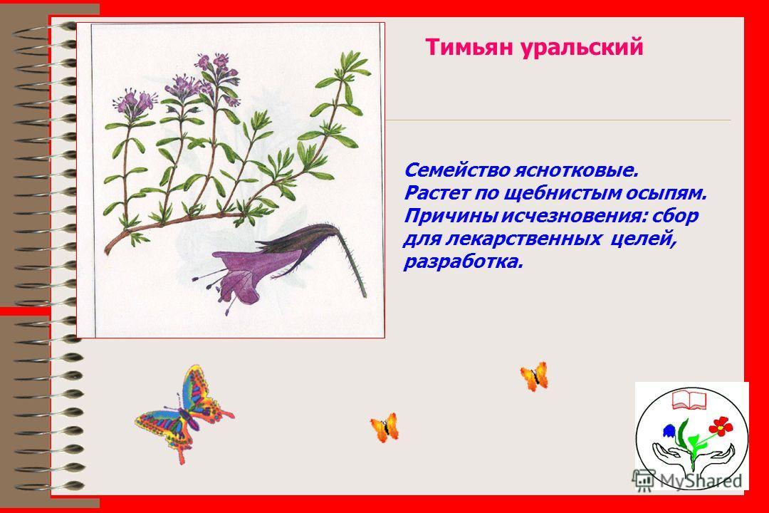 Тимьян уральский Семейство яснотковые. Растет по щебнистым осыпям. Причины исчезновения: сбор для лекарственных целей, разработка.