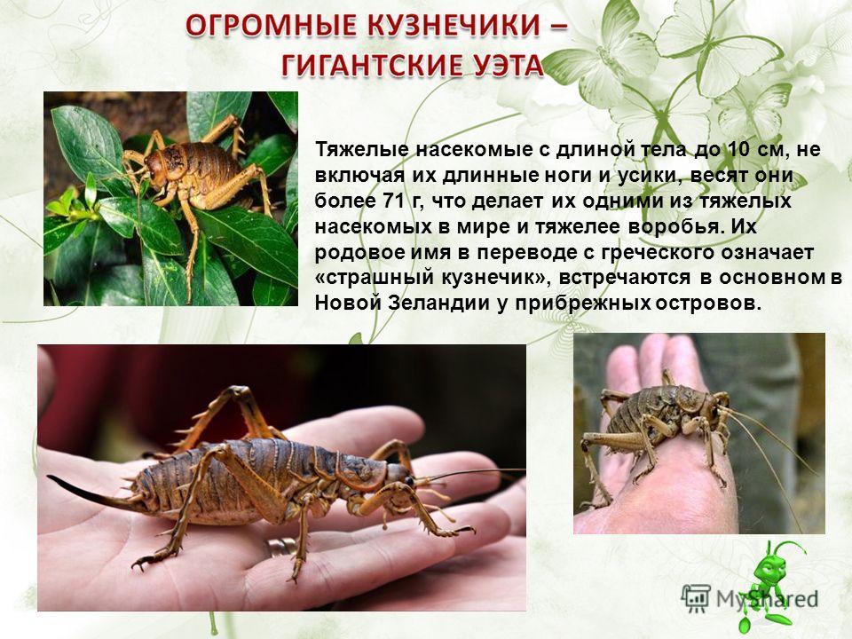 Тяжелые насекомые с длиной тела до 10 см, не включая их длинные ноги и усики, весят они более 71 г, что делает их одними из тяжелых насекомых в мире и тяжелее воробья. Их родовое имя в переводе с греческого означает «страшный кузнечик», встречаются в
