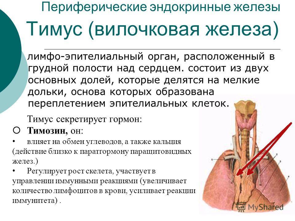 Периферические эндокринные железы лимфо-эпителиальный орган, расположенный в грудной полости над сердцем. состоит из двух основных долей, которые делятся на мелкие дольки, основа которых образована переплетением эпителиальных клеток. Тимус (вилочкова