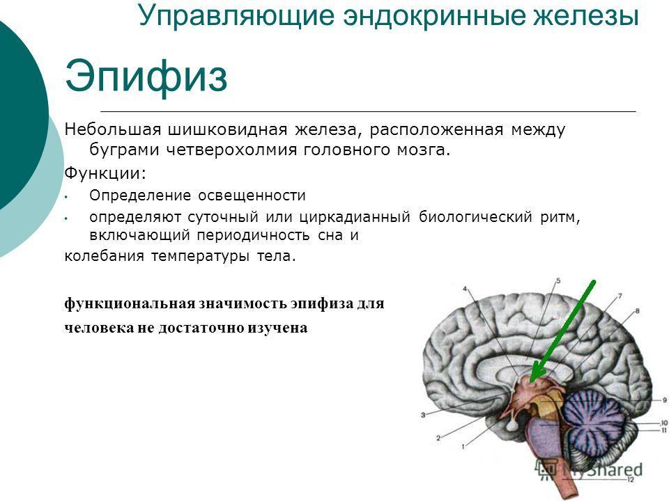 Управляющие эндокринные железы Эпифиз Небольшая шишковидная железа, расположенная между буграми четверохолмия головного мозга. Функции: Определение освещенности определяют суточный или циркадианный биологический ритм, включающий периодичность сна и к