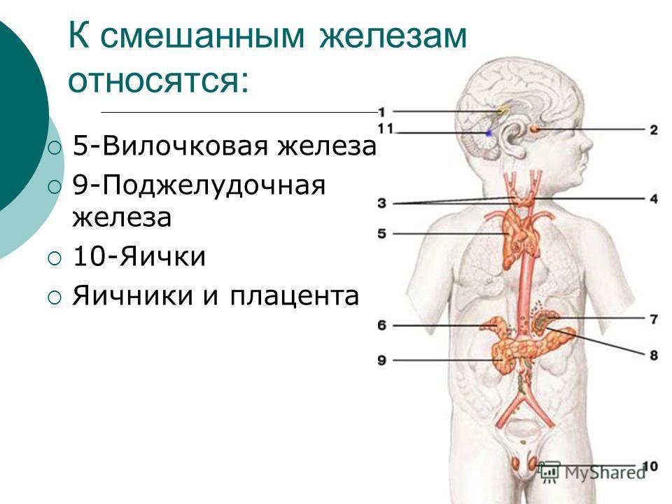 К смешанным железам относятся: 5-Вилочковая железа 9-Поджелудочная железа 10-Яички Яичники и плацента