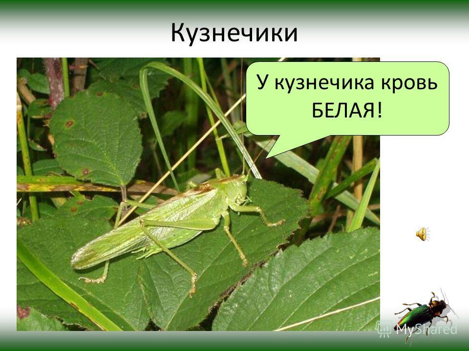 Прямокрылые Кузнечики Кобылки и саранча СверчкиМедведки