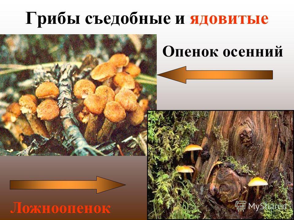 Грибы съедобные и ядовитые Опенок осенний Ложноопенок