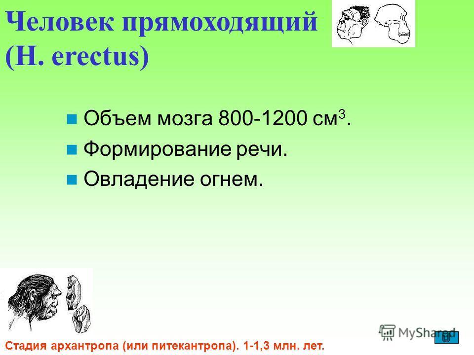 Объем мозга 800-1200 см 3. Формирование речи. Овладение огнем. Человек прямоходящий (H. erectus) Стадия архантропа (или питекантропа). 1-1,3 млн. лет.