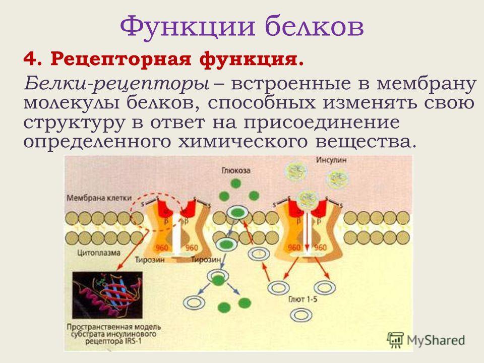 Функции белков 4. Рецепторная функция. Белки-рецепторы – встроенные в мембрану молекулы белков, способных изменять свою структуру в ответ на присоединение определенного химического вещества.