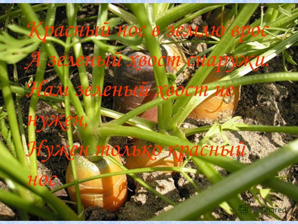 Красный нос в землю врос А зеленый хвост снаружи. Нам зеленый хвост не нужен, Нужен только красный нос