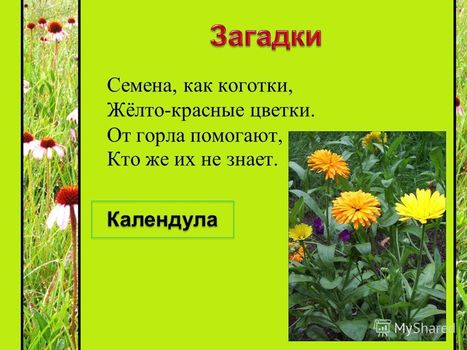 Семена, как коготки, Жёлто-красные цветки. От горла помогают, Кто же их не знает. Календула