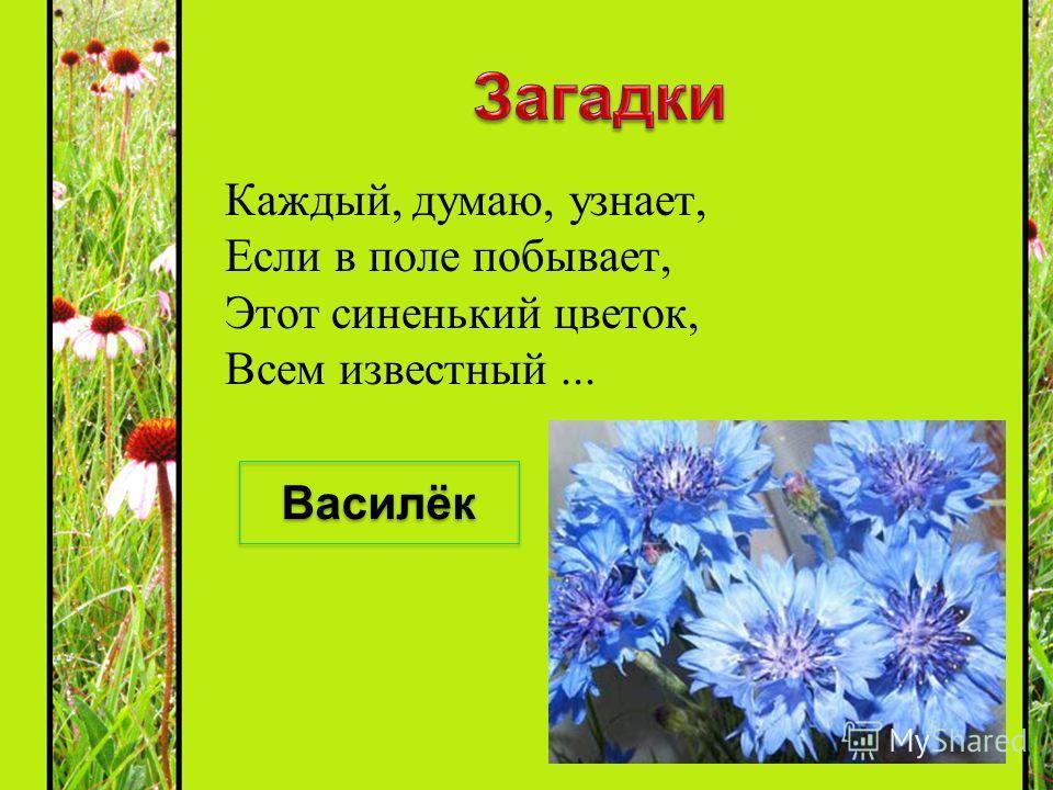 Каждый, думаю, узнает, Если в поле побывает, Этот синенький цветок, Всем известный... Василёк