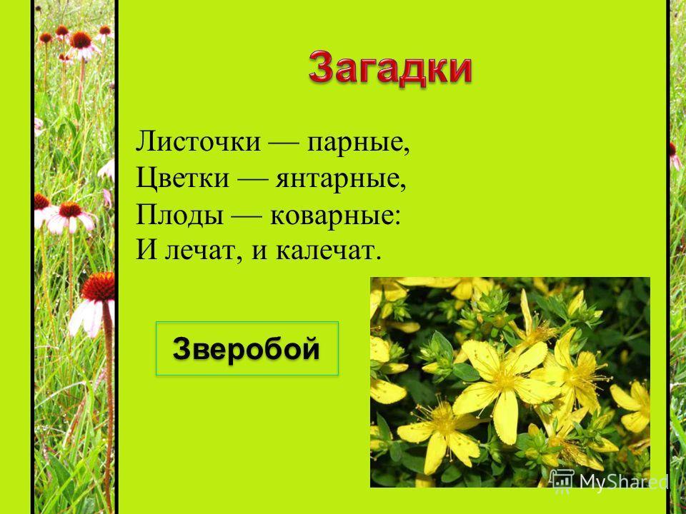 Листочки парные, Цветки янтарные, Плоды коварные: И лечат, и калечат. Зверобой