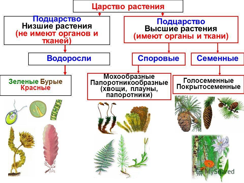 Царство растения низшие растения