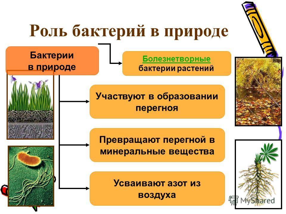 Роль бактерий в природе Бактерии в природе Участвуют в образовании перегноя Превращают перегной в минеральные вещества Усваивают азот из воздуха Болезнетворные Болезнетворные бактерии растений