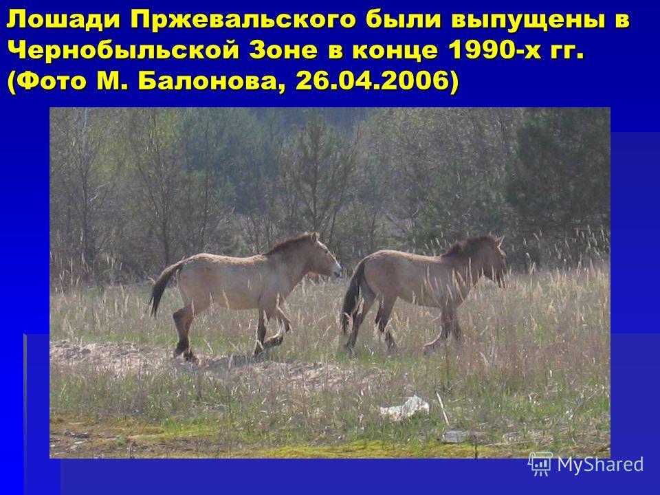 Лошади Пржевальского были выпущены в Чернобыльской Зоне в конце 1990-х гг. (Фото M. Балонова, 26.04.2006)