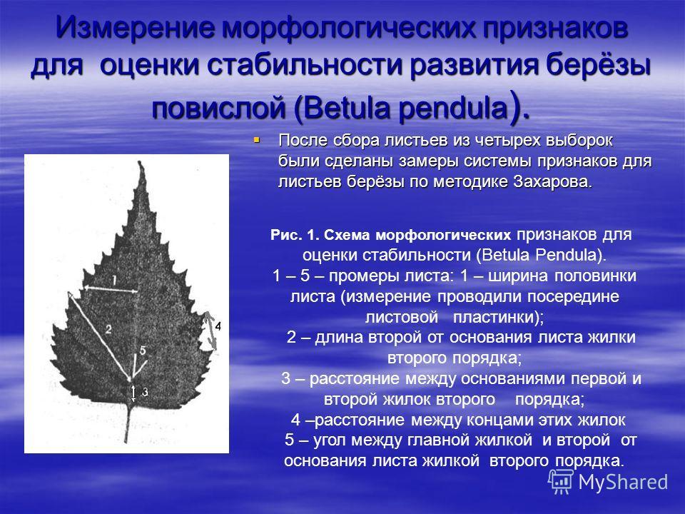 Измерение морфологических признаков для оценки стабильности развития берёзы повислой (Betula pendula ). После сбора листьев из четырех выборок были сделаны замеры системы признаков для листьев берёзы по методике Захарова. После сбора листьев из четыр