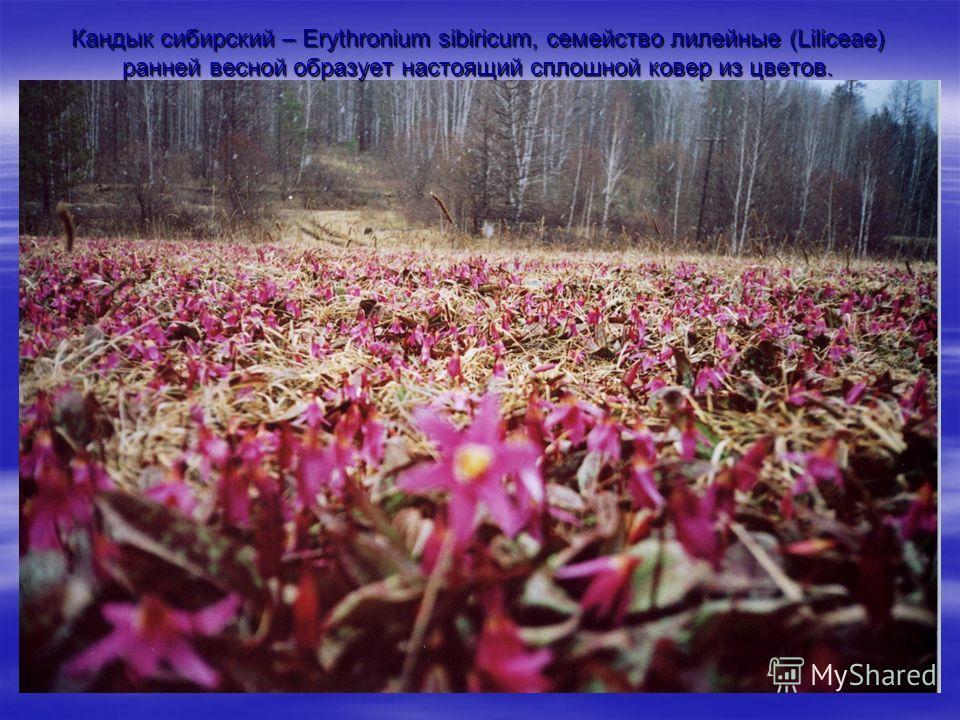 Кандык сибирский – Erythronium sibiricum, семейство лилейные (Liliceae) ранней весной образует настоящий сплошной ковер из цветов.