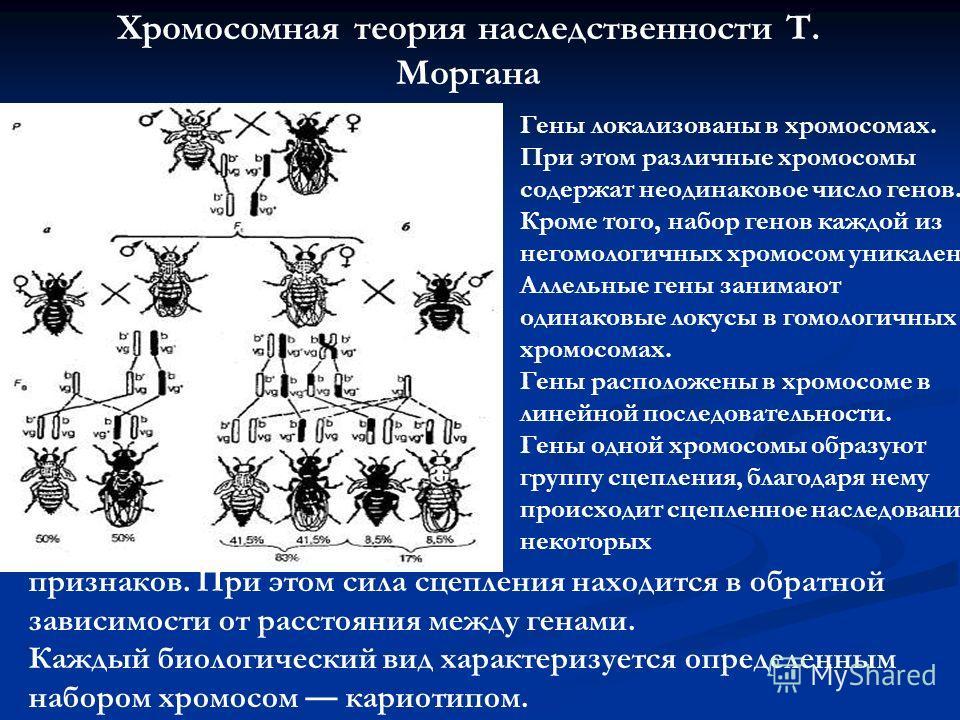 Хромосомная теория наследственности Т. Моргана Гены локализованы в хромосомах. При этом различные хромосомы содержат неодинаковое число генов. Кроме того, набор генов каждой из негомологичных хромосом уникален. Аллельные гены занимают одинаковые локу