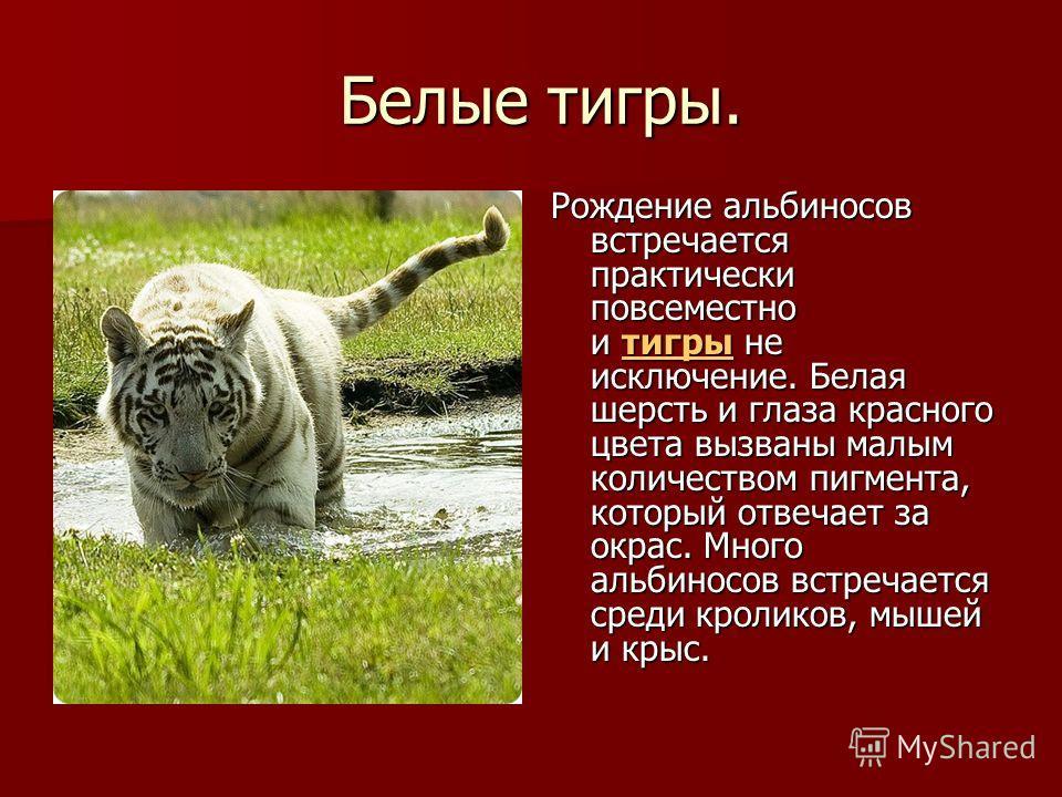 Белые тигры. Белые тигры. Рождение альбиносов встречается практически повсеместно и тигры не исключение. Белая шерсть и глаза красного цвета вызваны малым количеством пигмента, который отвечает за окрас. Много альбиносов встречается среди кроликов, м