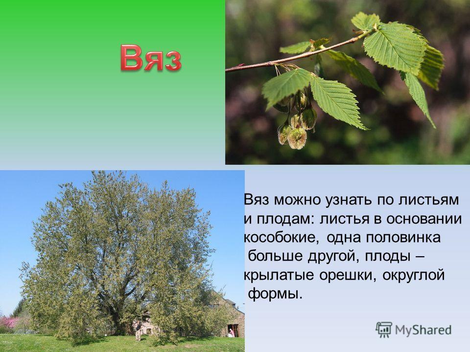 Вяз можно узнать по листьям и плодам: листья в основании кособокие, одна половинка больше другой, плоды – крылатые орешки, округлой формы.