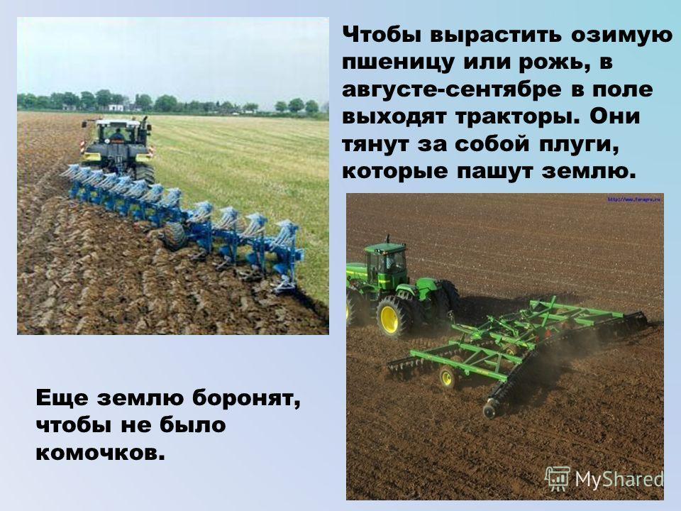 Чтобы вырастить озимую пшеницу или рожь, в августе-сентябре в поле выходят тракторы. Они тянут за собой плуги, которые пашут землю. Еще землю боронят, чтобы не было комочков.