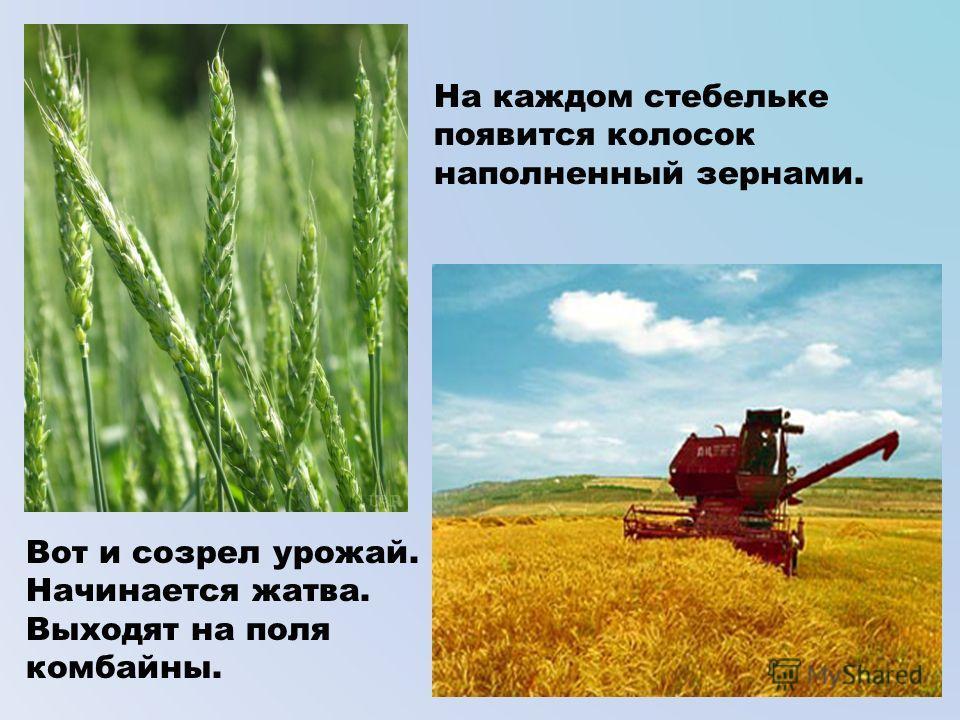 На каждом стебельке появится колосок наполненный зернами. Вот и созрел урожай. Начинается жатва. Выходят на поля комбайны.