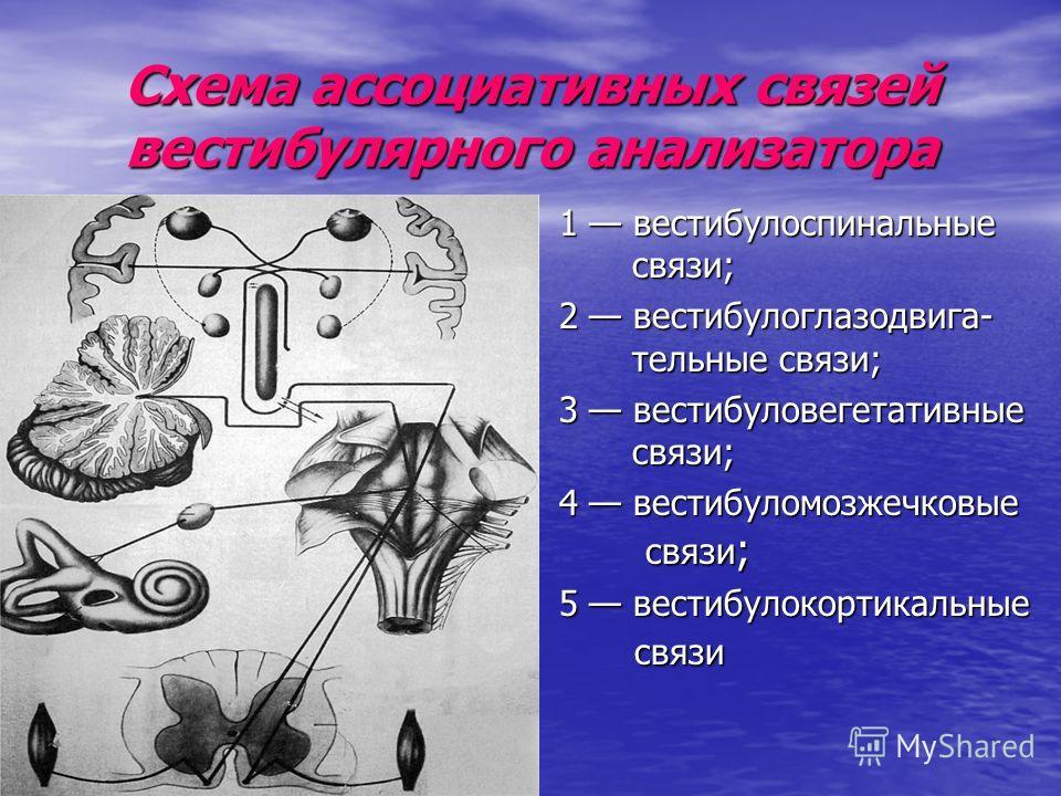 Схема ассоциативных связей вестибулярного анализатора 1 вестибулоспинальные связи; 2 вестибулоглазодвига- тельные связи; 3 вестибуловегетативные связи; 4 вестибуломозжечковые связи ; 5 вестибулокортикальные связи