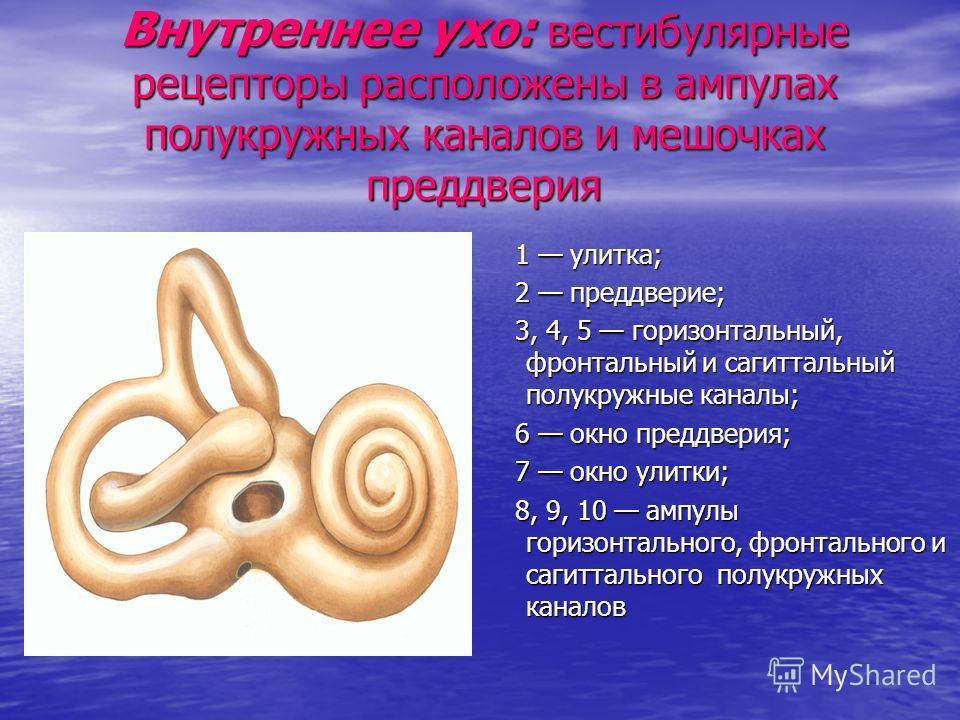 Внутреннее ухо: вестибулярные рецепторы расположены в ампулах полукружных каналов и мешочках преддверия 1 улитка; 1 улитка; 2 преддверие; 2 преддверие; 3, 4, 5 горизонтальный, фронтальный и сагиттальный полукружные каналы; 3, 4, 5 горизонтальный, фро