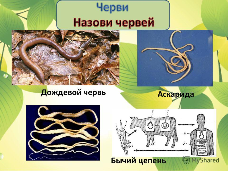 Дождевой червь Аскарида Бычий цепень