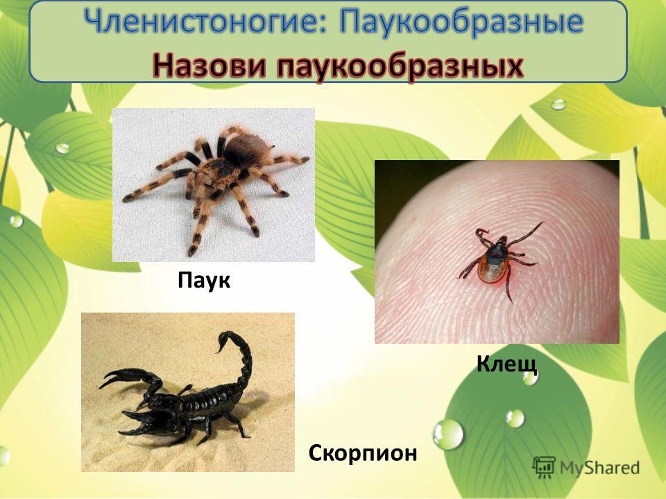 Паук Клещ Скорпион