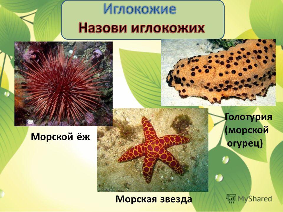 Морской ёж Морская звезда Голотурия (морской огурец)