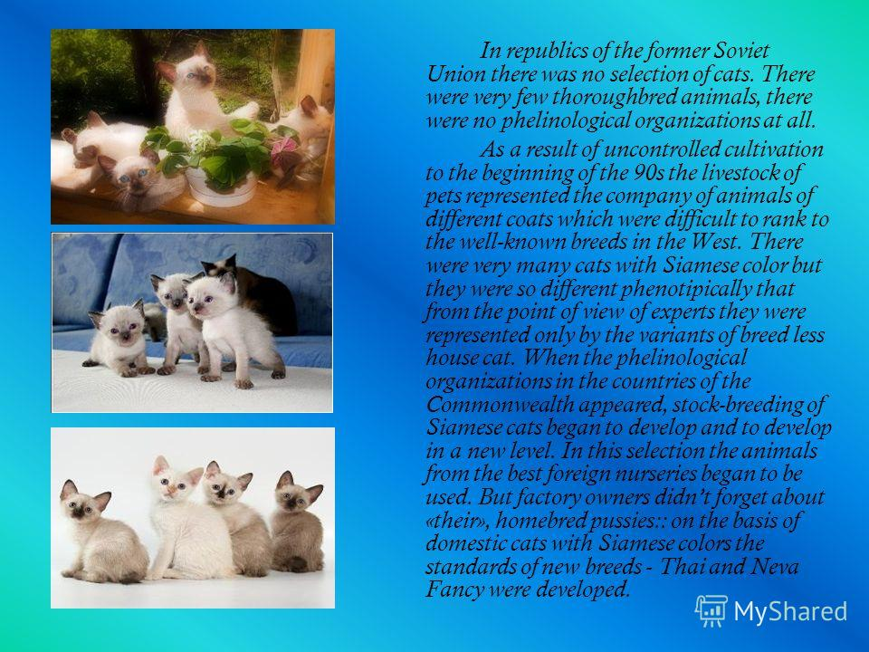 In republics of the former Soviet Union there was no selection of cats. There were very few thoroughbred animals, there were no phelinological organizations at all. As a result of uncontrolled cultivation to the beginning of the 90s the livestock of