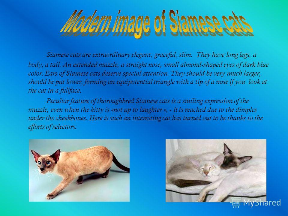 Siamese cats are extraordinary elegant, graceful, slim. They have long legs, a body, a tail. An extended muzzle, a straight nose, small almond-shaped eyes of dark blue color. Ears of Siamese cats deserve special attention. They should be very much la