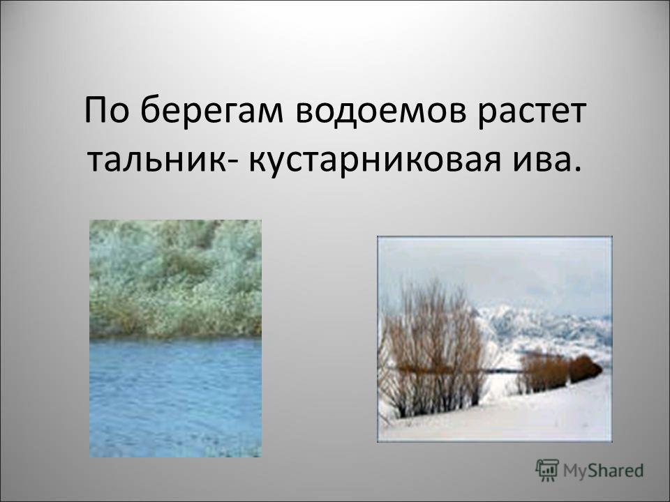 По берегам водоемов растет тальник- кустарниковая ива.
