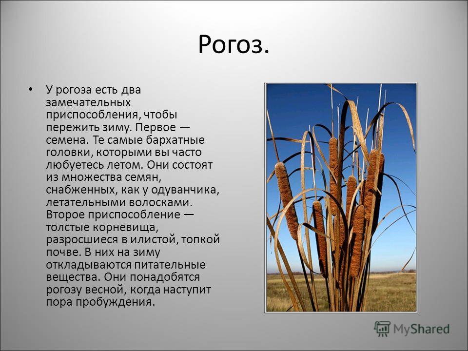 Рогоз. У рогоза есть два замечательных приспособления, чтобы пережить зиму. Первое семена. Те самые бархатные головки, которыми вы часто любуетесь летом. Они состоят из множества семян, снабженных, как у одуванчика, летательными волосками. Второе при