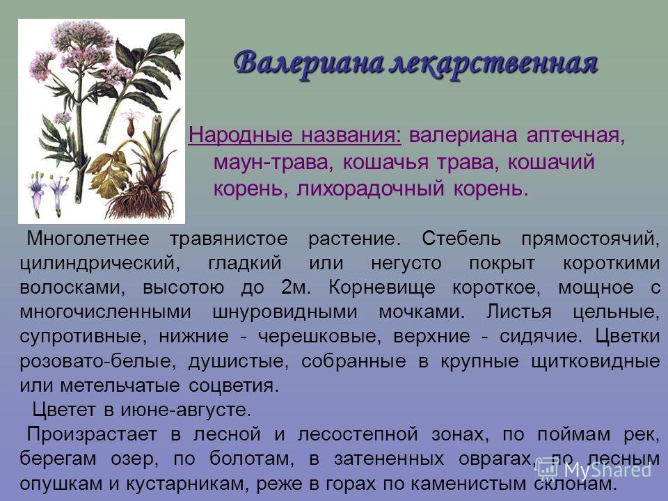 Валериана лекарственная Народные названия: валериана аптечная, маун-трава, кошачья трава, кошачий корень, лихорадочный корень. Многолетнее травянистое растение. Стебель прямостоячий, цилиндрический, гладкий или негусто покрыт короткими волосками, выс