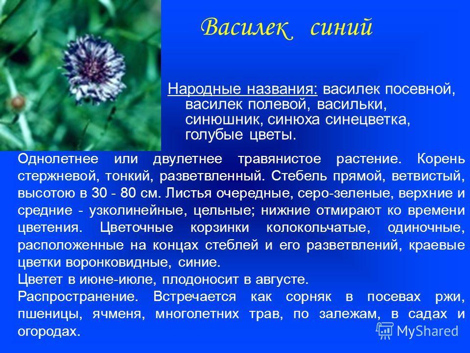 Василек синий Народные названия: василек посевной, василек полевой, васильки, синюшник, синюха синецветка, голубые цветы. Однолетнее или двулетнее травянистое растение. Корень стержневой, тонкий, разветвленный. Стебель прямой, ветвистый, высотою в 30