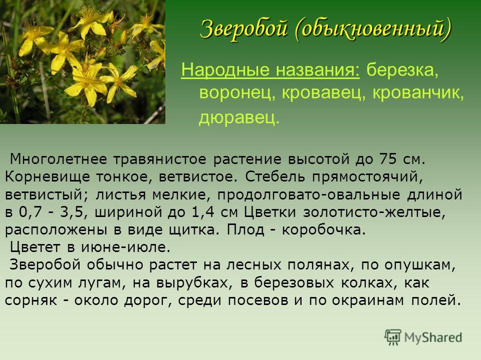 Зверoбой (обыкновенный) Народные названия: березка, воронец, кровавец, крованчик, дюравец. Многолетнее травянистое растение высотой до 75 см. Корневище тонкое, ветвистое. Стебель прямостоячий, ветвистый; листья мелкие, продолговато-овальные длиной в