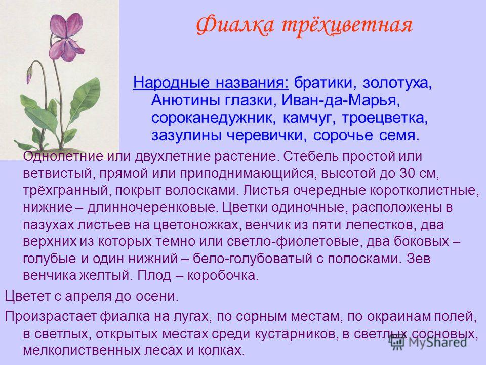 Фиалка трёхцветная Народные названия: братики, золотуха, Анютины глазки, Иван-да-Марья, сороканедужник, камчуг, троецветка, зазулины черевички, сорочье семя. Однолетние или двухлетние растение. Стебель простой или ветвистый, прямой или приподнимающий
