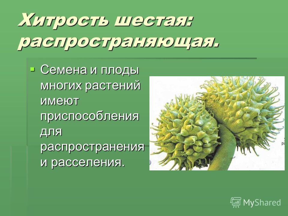 Хитрость шестая: распространяющая. Семена и плоды многих растений имеют приспособления для распространения и расселения. Семена и плоды многих растений имеют приспособления для распространения и расселения.